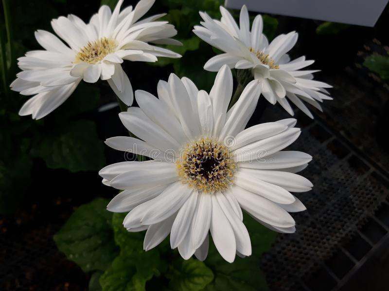 White crysantimum. Whiteflower crysantimumflower tree plant potplant garden beautiful royalty free stock photos