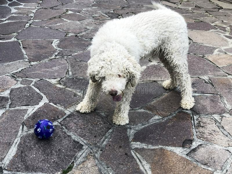 White curly happy dog pulling out the tongue and playing with blue ball in the yard. Trufle dog breed. Lagotto romagnolo breed royalty free stock photo