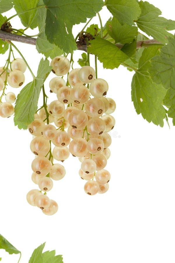 Download White currant. stock photo. Image of organic, bush, dessert - 10184170