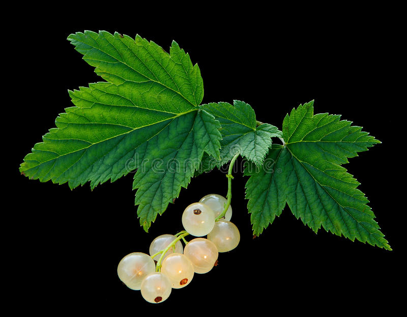 White currant. Ripe white currant on black background stock images