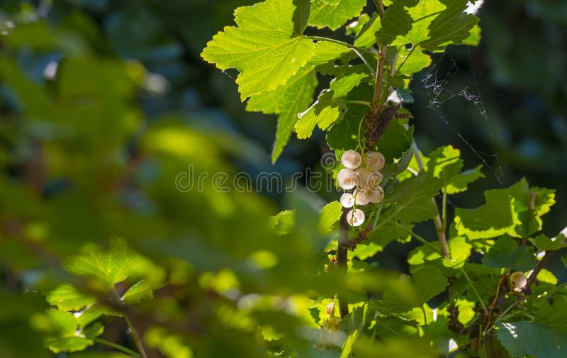 White currents in a shrub in sunlight in summer. White currents in a shrub in a garden in sunlight in summer stock image