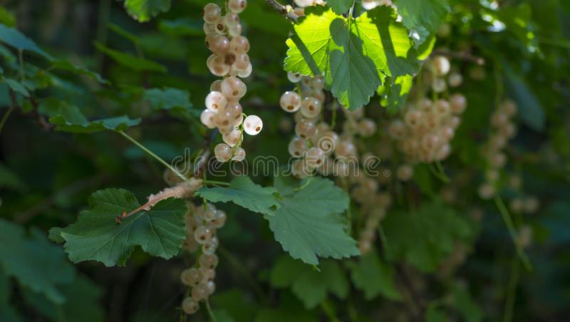 White currents in a shrub in sunlight in summer. White currents in a shrub in a garden in sunlight in summer stock photos