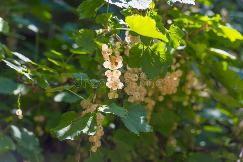 White currents in a shrub in sunlight in summer. White currents in a shrub in a garden in sunlight in summer stock photo
