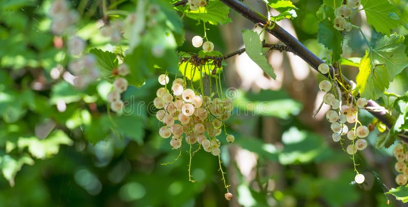 White currents in a shrub in sunlight in summer. White currents in a shrub in a garden in sunlight in summer stock photography