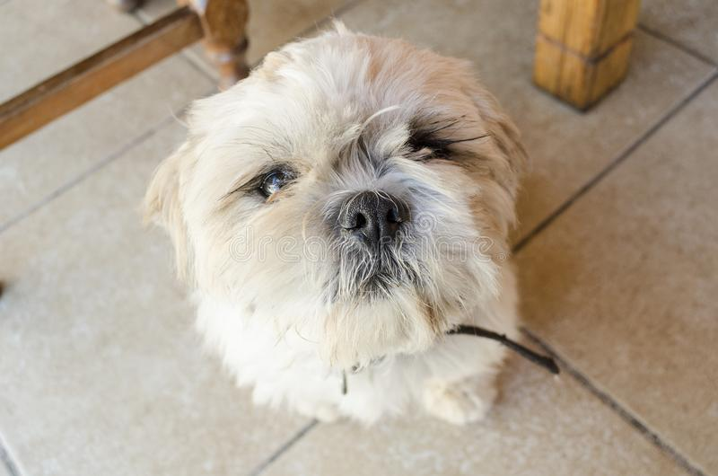 White cute dog looking upward. White cute dog sitting on the ground and looking upward. Cute domestic dog portrait royalty free stock photography