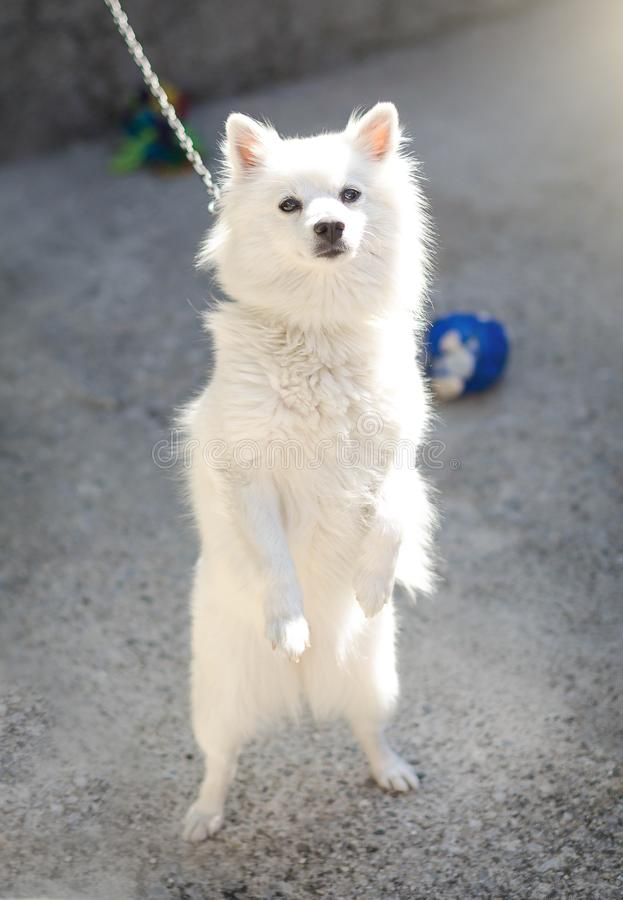 White cute dog standing on the rear paws stock image