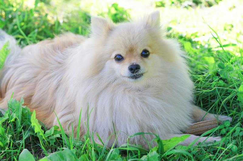 White cute German Pomeranian spitz dog protects his bone.stick for brushing teeth. daily oral care. hard to reach teeth stock images