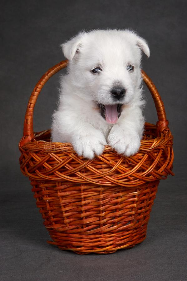 White cute puppy dog west highland terrier in basket stock photography