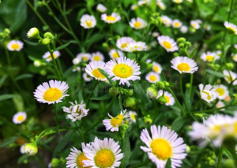 White cutter flower/aster ericoides flower with raindrop on pollen royalty free stock image