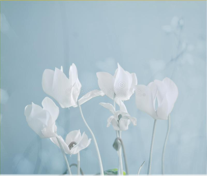 White Cyclamen Flower. On blue background royalty free stock photo