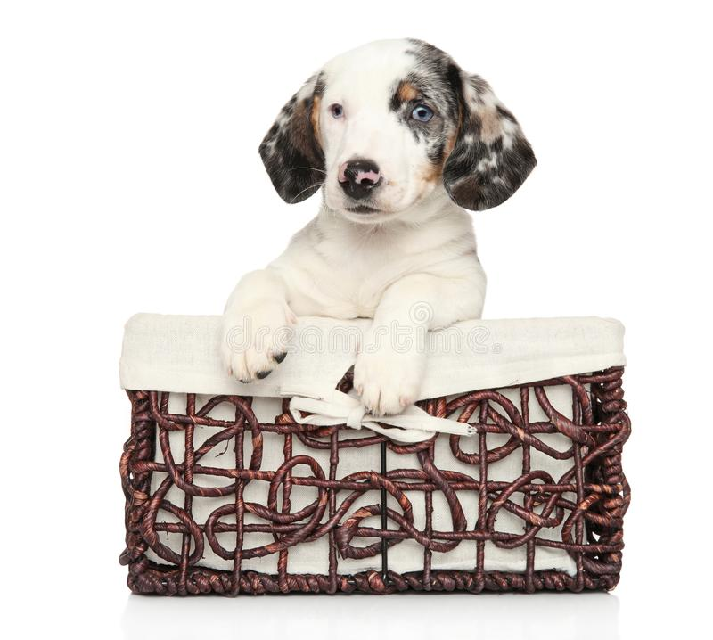 White Dachshund puppy in wicker basket stock photo