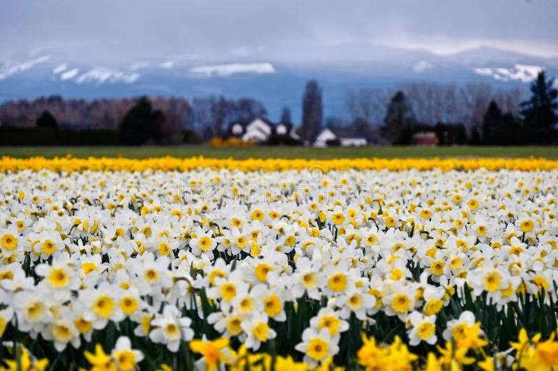 White daffodil fields and snowcapped mountains at the background. Tulip festival near Seattle. La Conner. Skagit valley. Washington. United States royalty free stock image