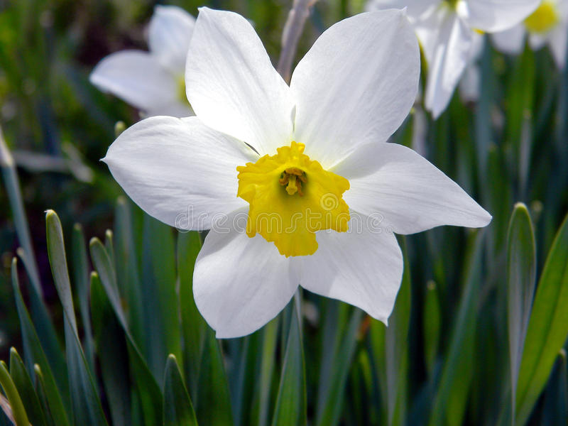 White daffodil flower close up royalty free stock photography