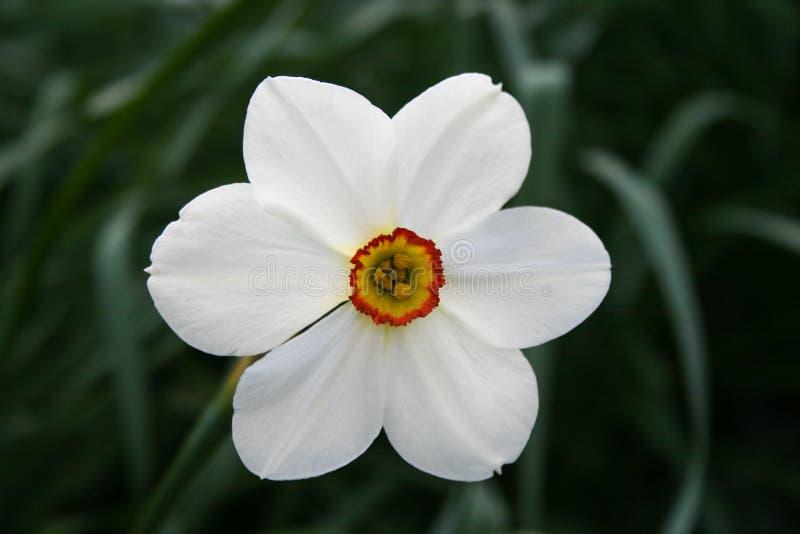 White daffodil flower in garden stock image image of flowers download white daffodil flower in garden stock image image of flowers bloom 108605049 mightylinksfo