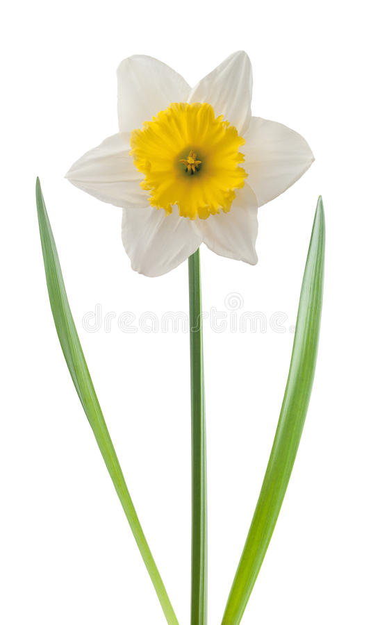 White daffodil royalty free stock images