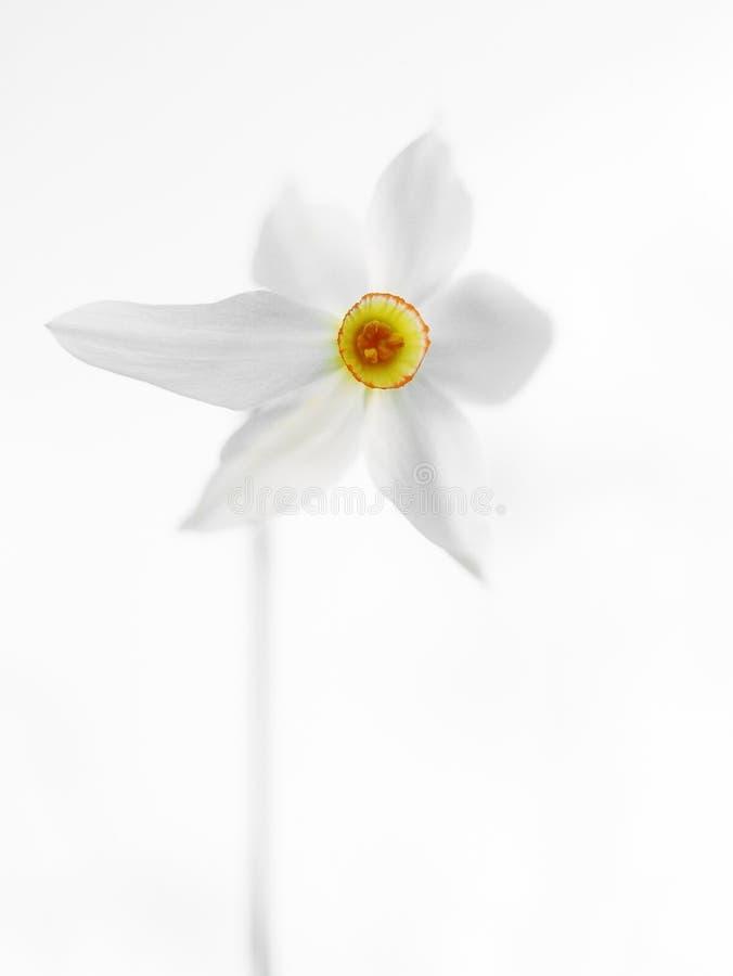 White daffodil. royalty free stock photos