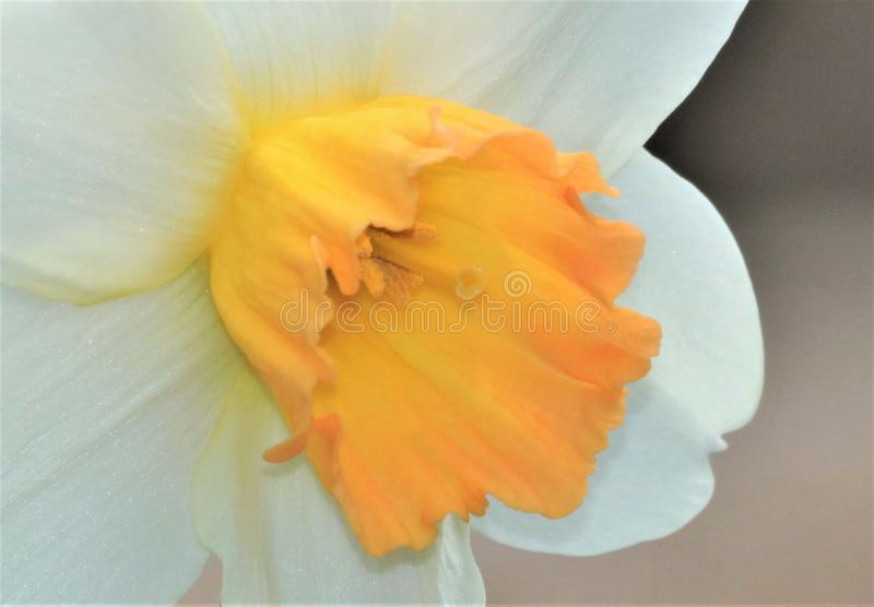 White Daffodil with Yellow Center Macro royalty free stock photos