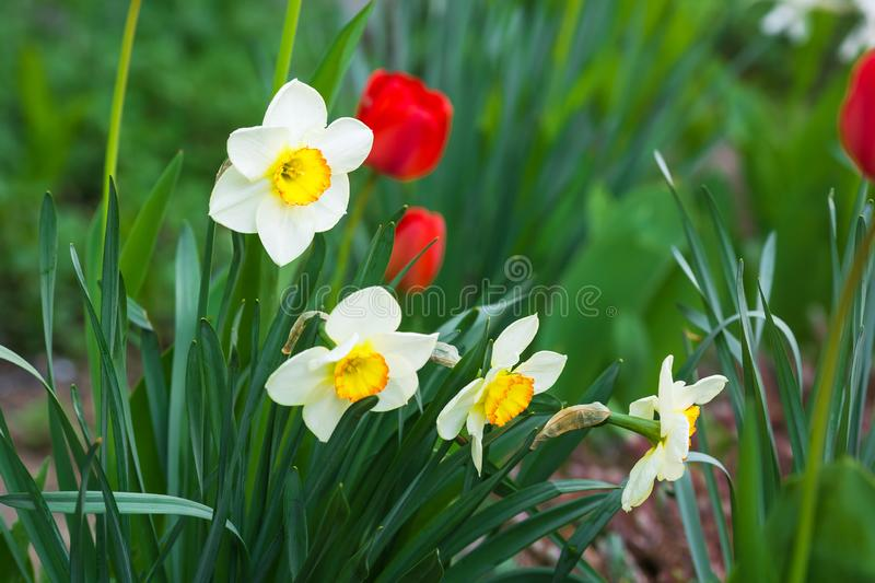 White daffodil with a yellow heart and red tulips growing in the garden royalty free stock images