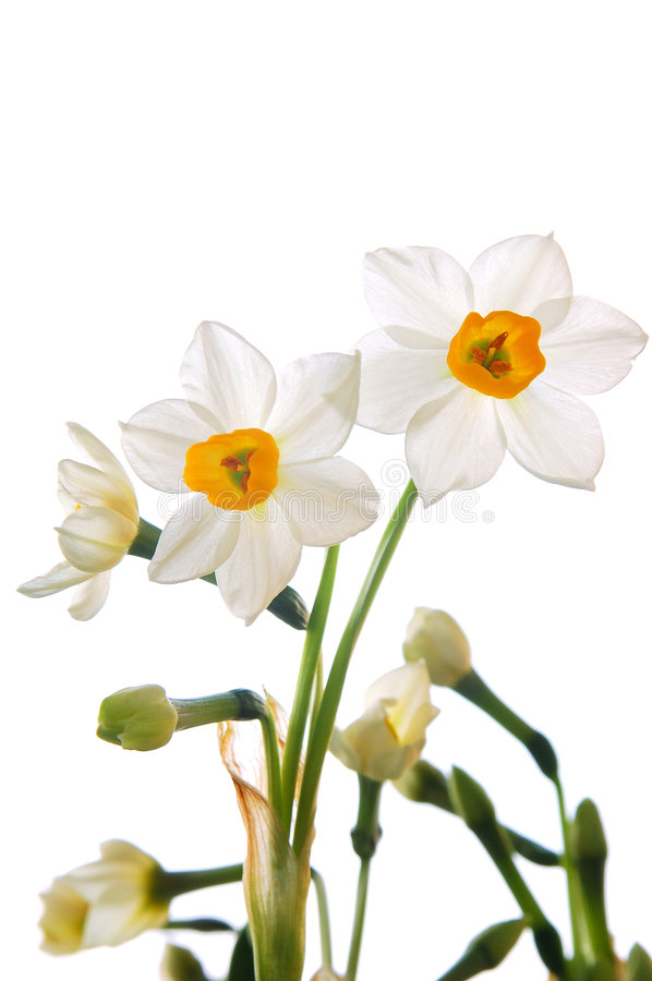 White Daffodils. The bouquet of spring daffodils stock images