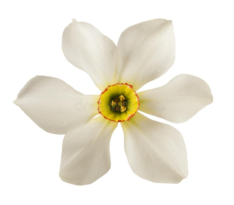 White daffodils flower royalty free stock photos