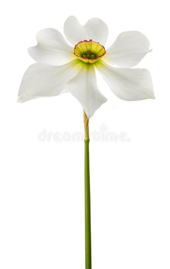 White daffodils flowers stock photography