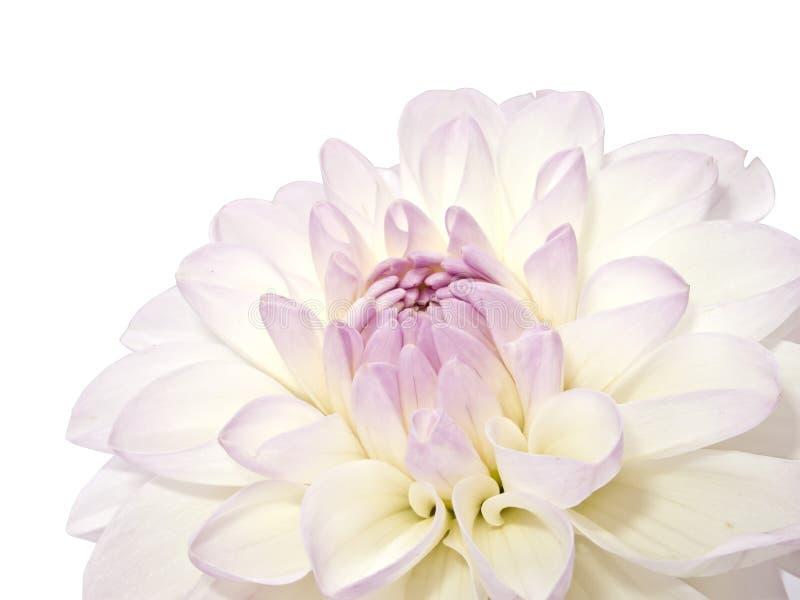 White Dahlia stock photo