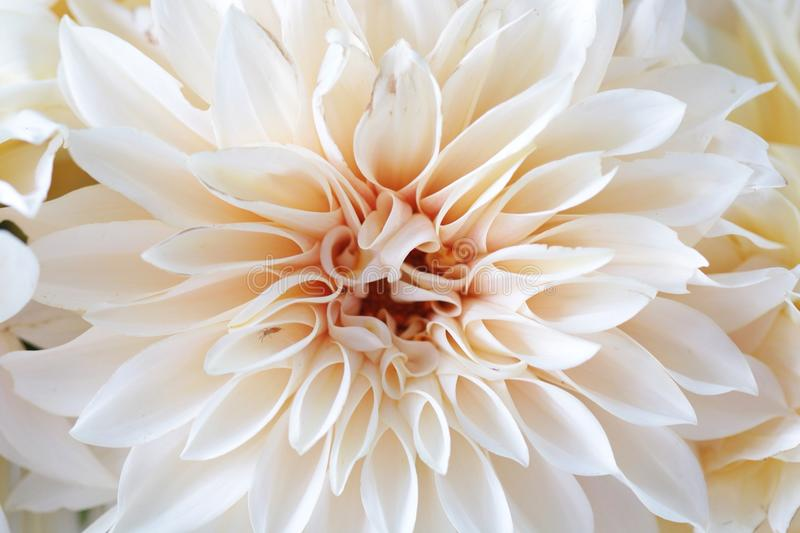 White dahlia flower closeup stock images