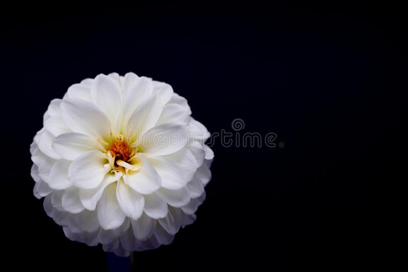White dahlia flower on a dark background isolated stock images