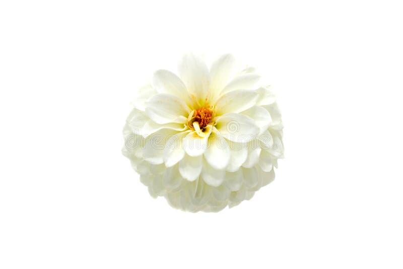 White dahlia flower on a white background isolated stock image