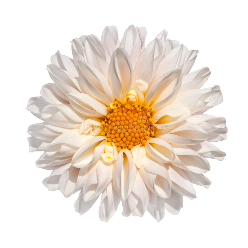 Free White Dahlia Flower With Yellow Center Isolated Royalty Free Stock Image - 15988466
