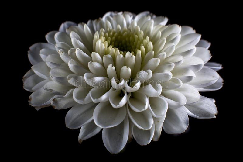 White dahlia macro details. On black background royalty free stock photography