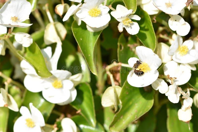 White Dahlia met een wesp, 2 stock foto's