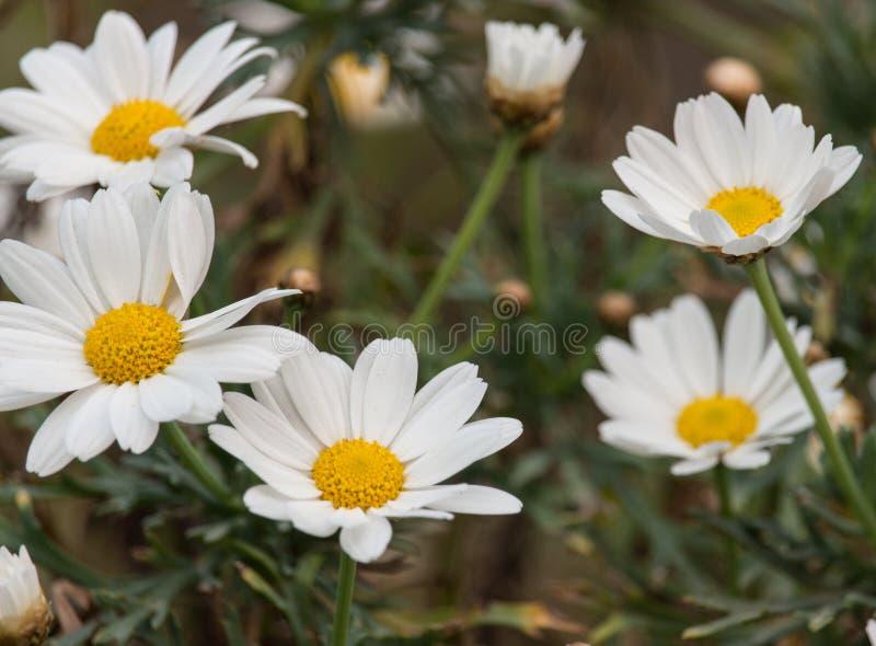 The white daises stock photos