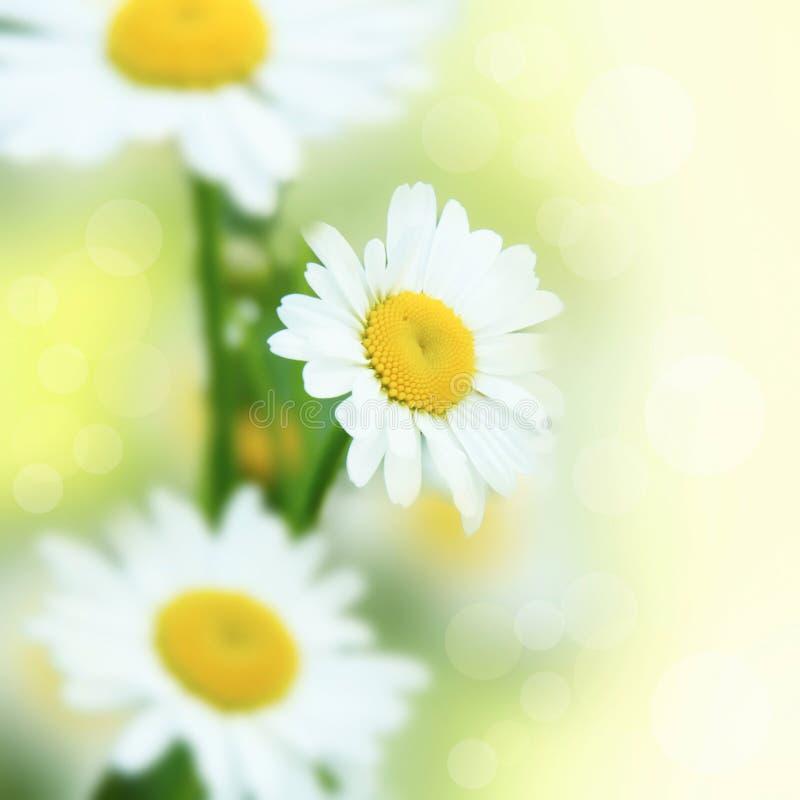 Free White Daisies Stock Photo - 16091240