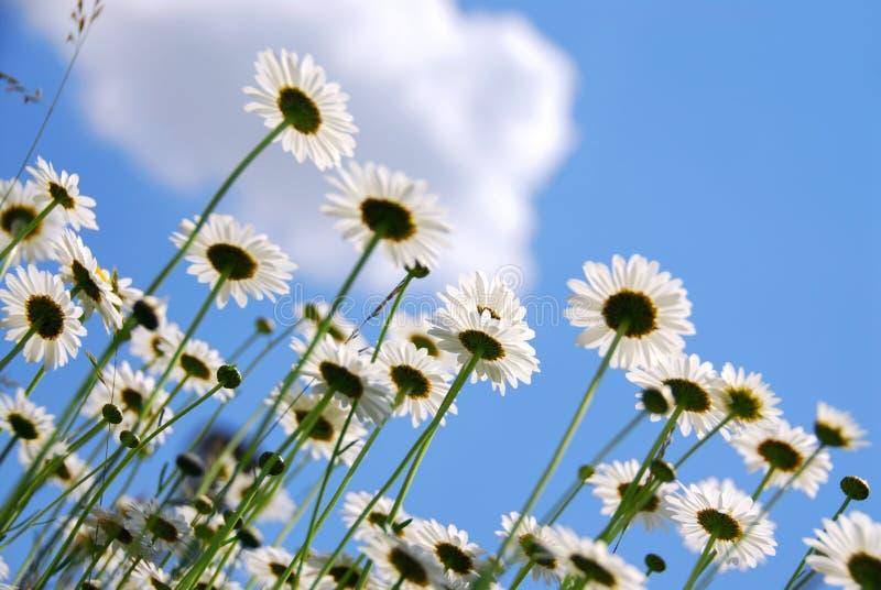 White daisies