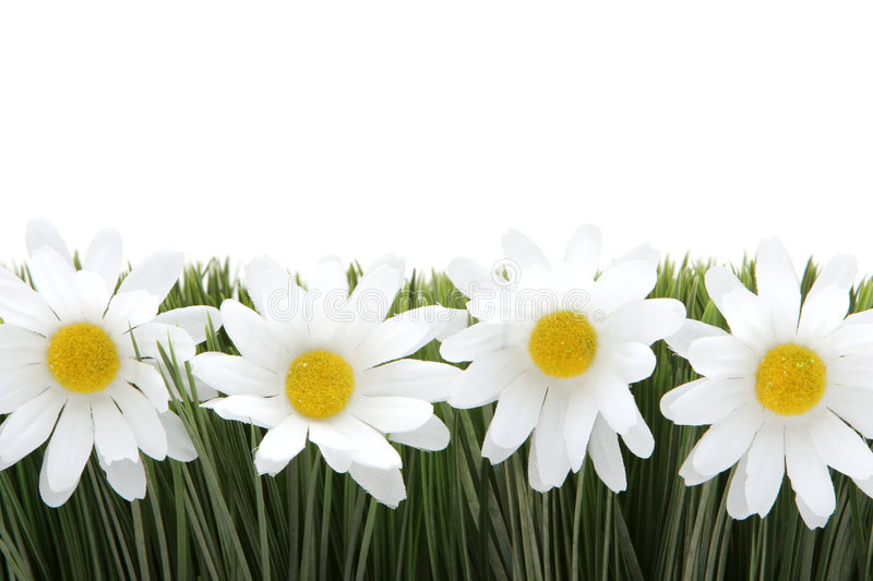 Download White daisies stock image. Image of growth, blooming, botanic - 2305811