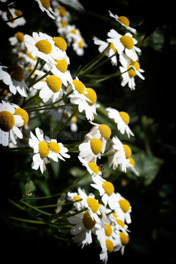 White Daisies against a dark background royalty free stock photos
