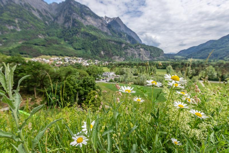 White daisies on the background of the Alps in Liechtenstein. royalty free stock image