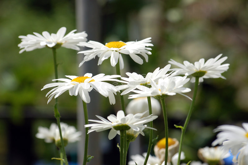 White Daisies in Bloom royalty free stock image
