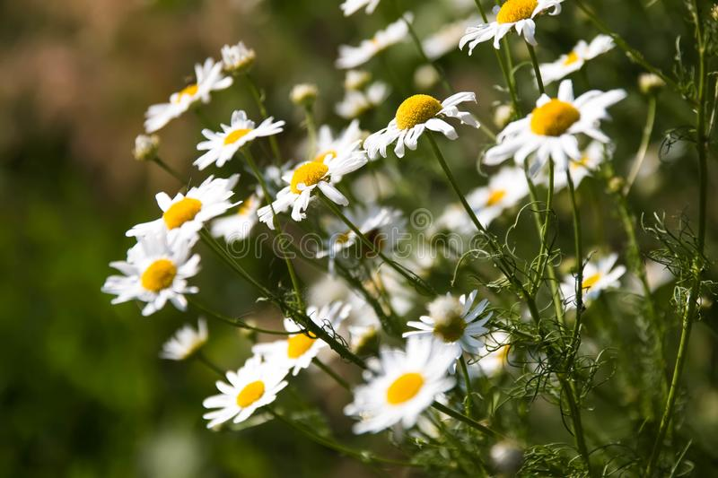 White daisies on a blurred background, sunny weather stock photography