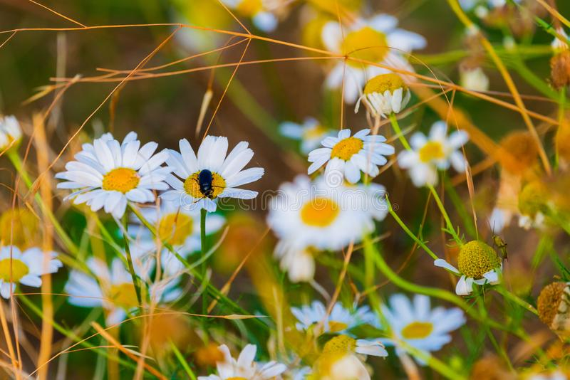 White daisies in a chamomile field stock photography