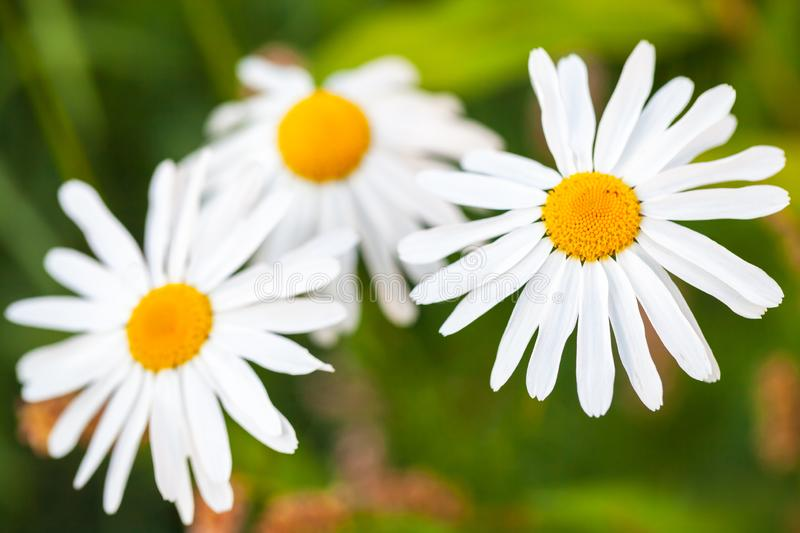 White daisies close up photo. Over blurred green background royalty free stock photos