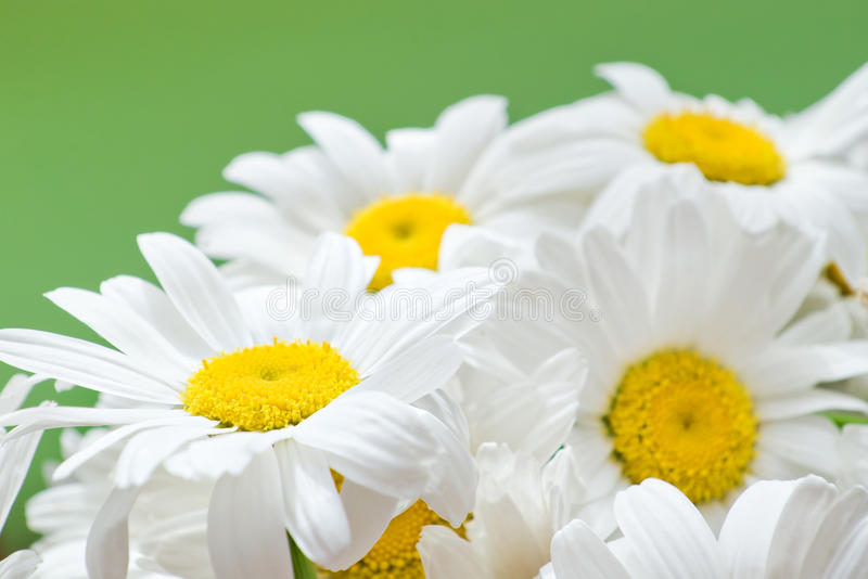 White daisies closeup royalty free stock photography