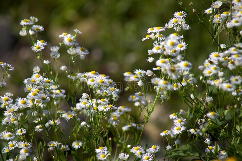 White daisies in field stock photo
