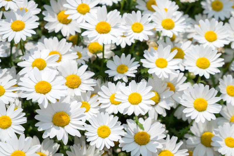 White daisies flower on green meadow stock image