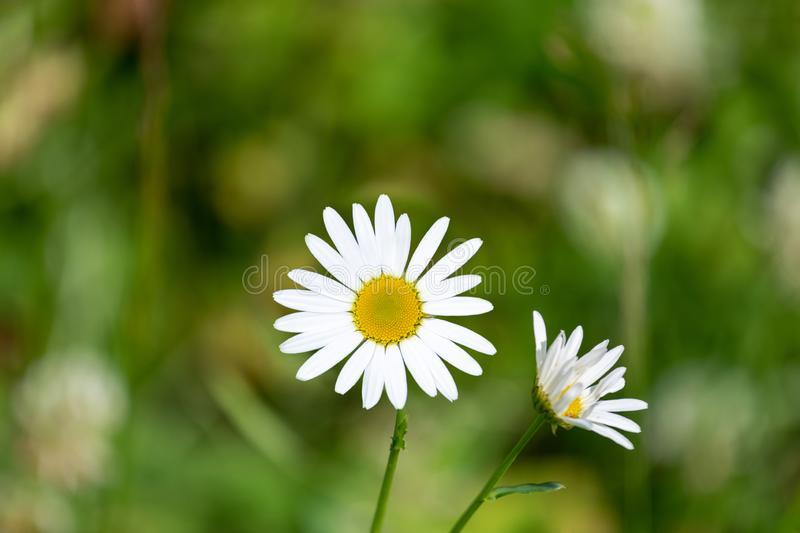 White daisies in green grass on a summer meadow gently bloom stock photography