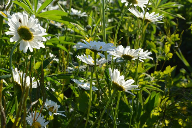 White daisies and green herbs on the  meadow in summer. Flowering chamomiles. White daisies and green herbs on the meadow in summer. Flowering chamomiles royalty free stock images