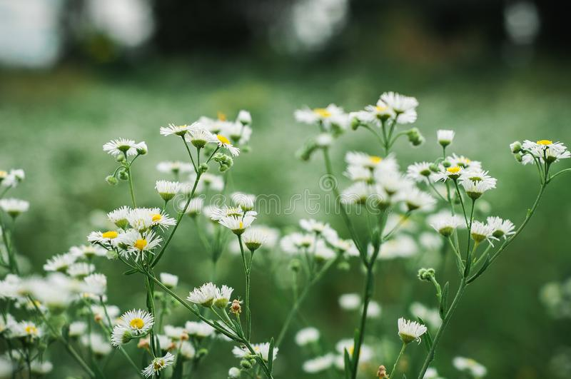 White daisies grow on a green field stock images