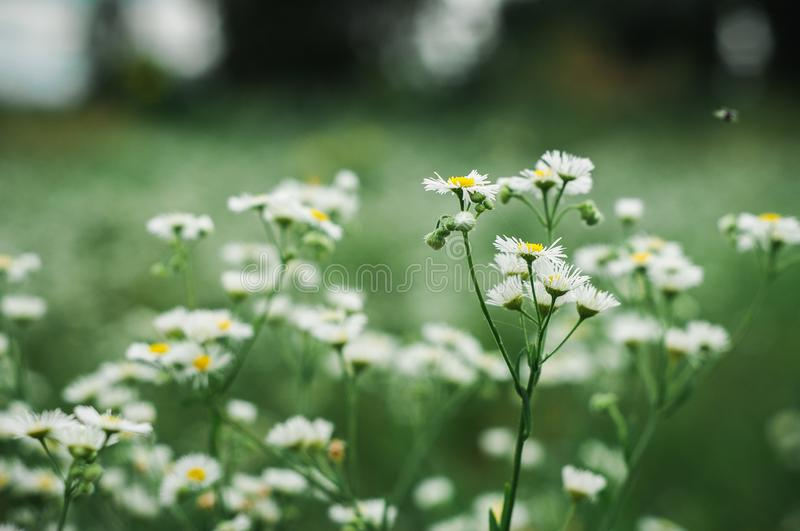 White daisies grow on a green field stock image