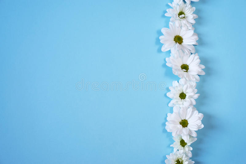 White daisies on light blue background. Daisy on light blue paper background stock photo